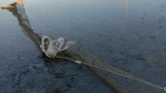Лебедей вытаскивают из воды с помощью сетей