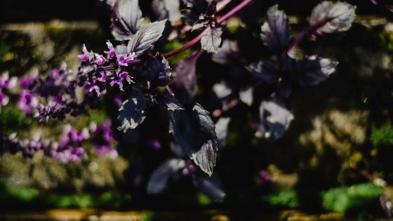Фиолетовый базилик цветет