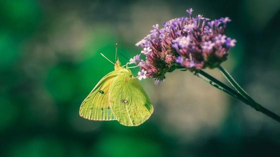 На сиреневом соцветии вербены лимонная бабочка