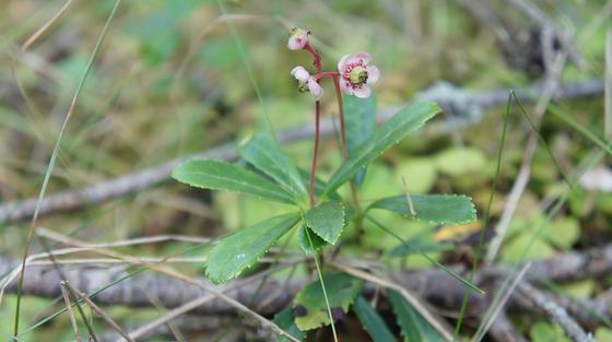 Растение цветущее