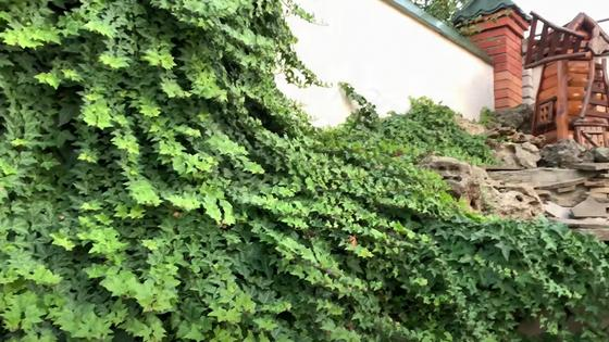 Вечнозеленый плющ