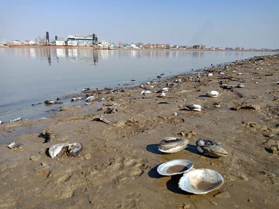 Мертвых моллюсков обнаружили на берегу Урала (фото, видео)