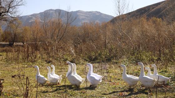 Гуси идут по селу
