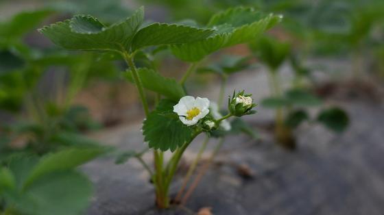 Кустик клубники цветет