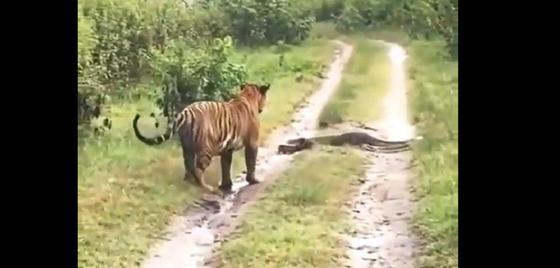 Тигр побоялся связываться с питоном при встрече на дороге