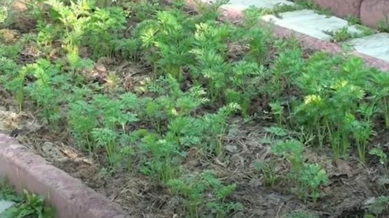 Морковь высажена рядами на грядке