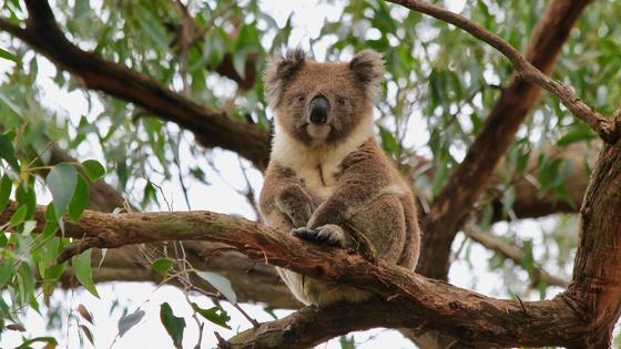 Коала сидит на дереве