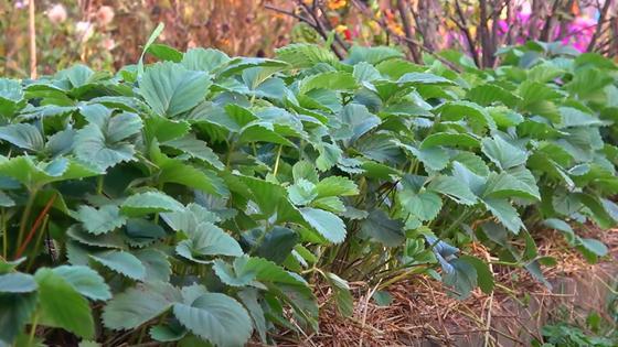 Клубничные кусты с яркими зелеными листьями