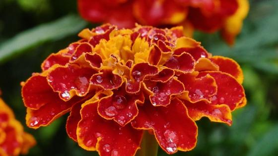 Цветок бархатцев