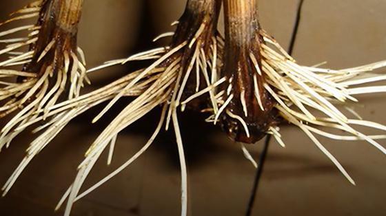 Проросшие черенки с белыми корнями