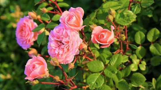 Бутоны вьющихся роз с розовыми лепестками