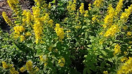 Кусты вербейника с желтыми соцветиями