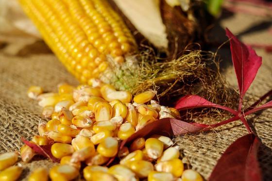 Початок и зерна кукурузы лежат на мешковине