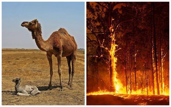 Власти Австралии истребят тысячи верблюдов из-за пожаров