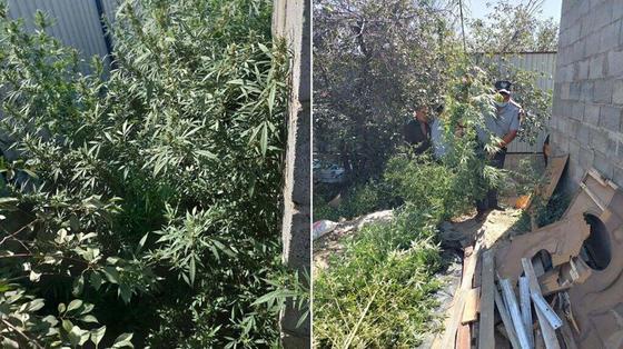 Двор, в котором выращивали коноплю