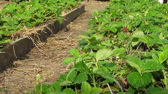Посадки клубники со спелыми ягодами в высоких грядках