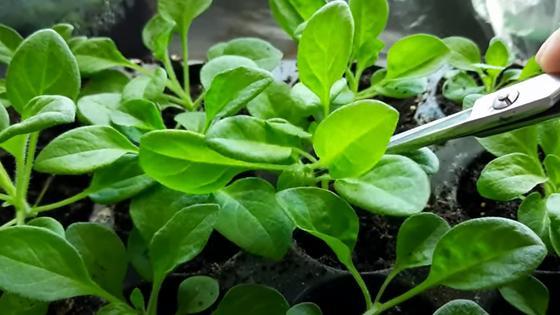 Зеленые саженцы петунии в горшочках