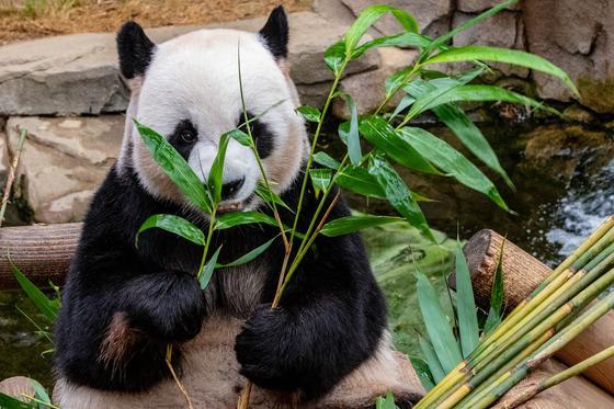 Большая панда сидит с бамбуком в лапах