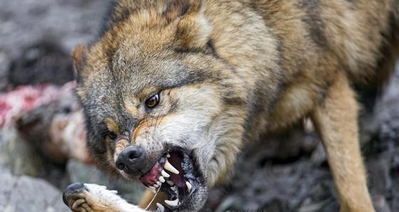 Двое казахстанцев, съевшие сырое сердце волка во время охоты, шокировали Сеть