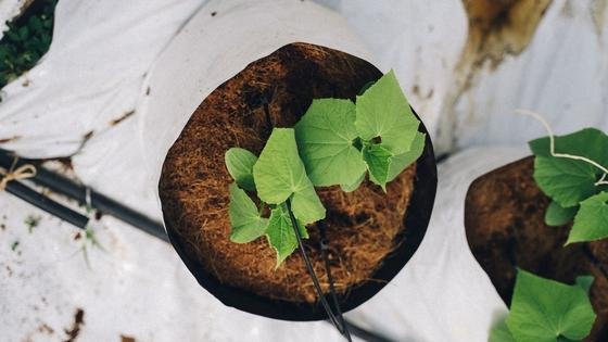 Рассада огурцов растет в горшках