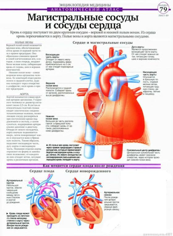 Магистральные сосуды и сосуды сердца