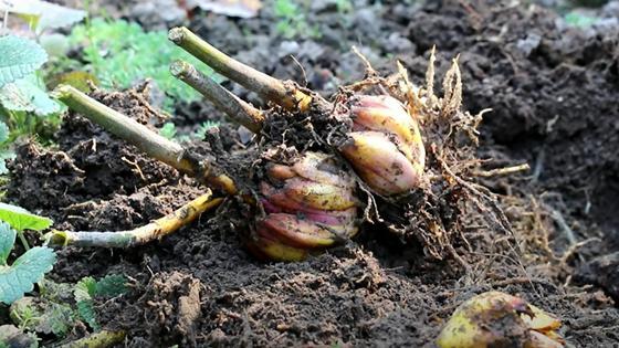 Две луковицы лилий со срезанными стеблями на земле