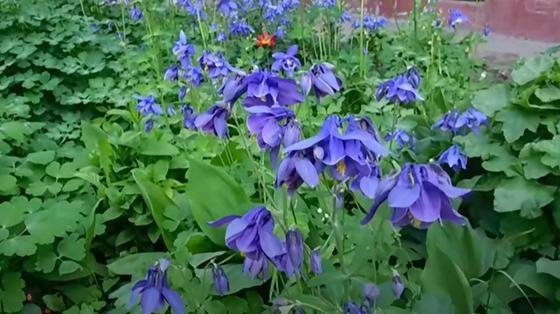 Кусты аквилегии с синими махровыми цветками