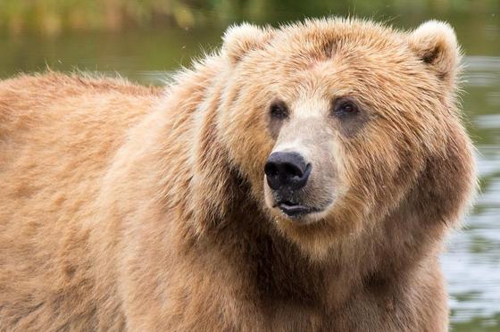 Бурый медведь: фото, описание, образ жизни, ареал обитания