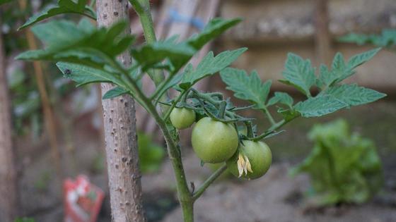 Зеленые плоды помидоров на кусте