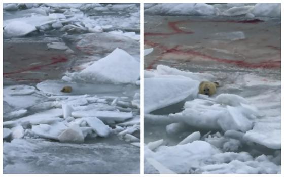 Новорожденного детеныша тюленя сняли на видео в Мангистау