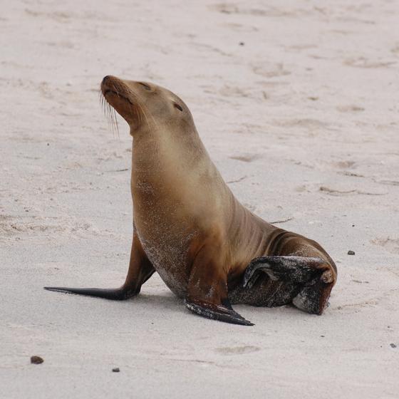 Морской котик сидит на берегу