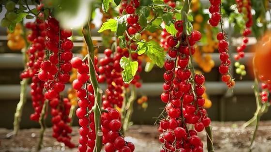 Длинные кисти красных помидоров черри на кустах