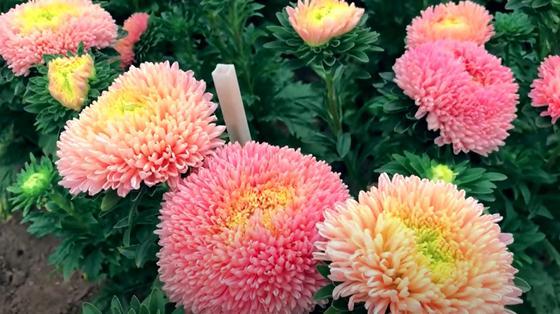 Астры с желтыми и розовыми лепестками на клумбе