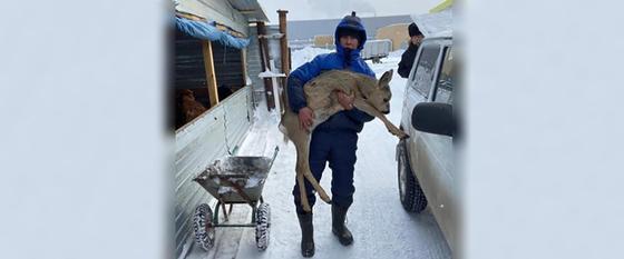 Житель Нур-Султана спас забредшую в город дикую косулю