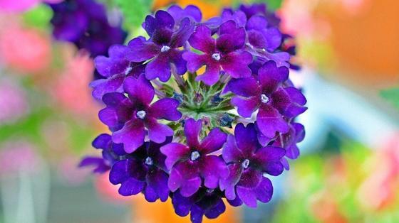 Соцветие вербены с фиолетовыми цветками