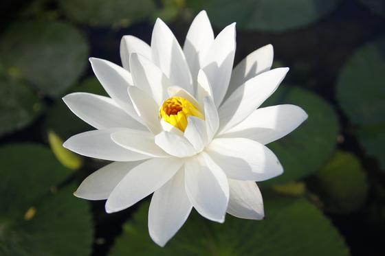 Белый крупный цветок