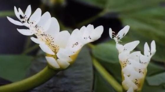 Белые цветки с перистыми лепестками и желтыми тычинками