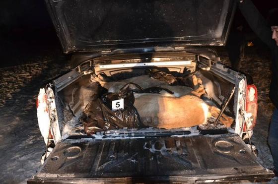Туши убитых косуль лежат в багажнике авто