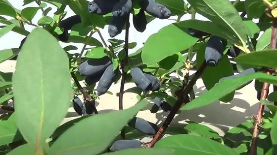Темно-синие плоды жимолости на кустах