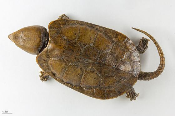 Редкую черепаху с клювом орла и хвостом крокодила обнаружили в Китае