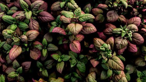 Базилик с зелеными и красными листьями