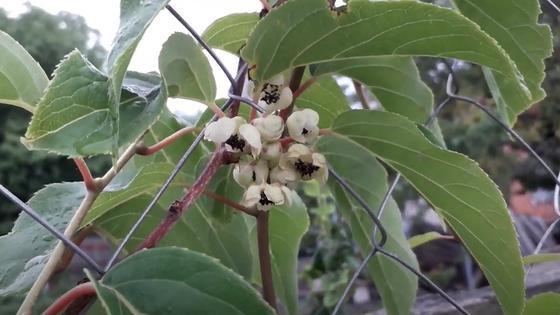 Цветки актинидии на плетущихся по сетке стеблях