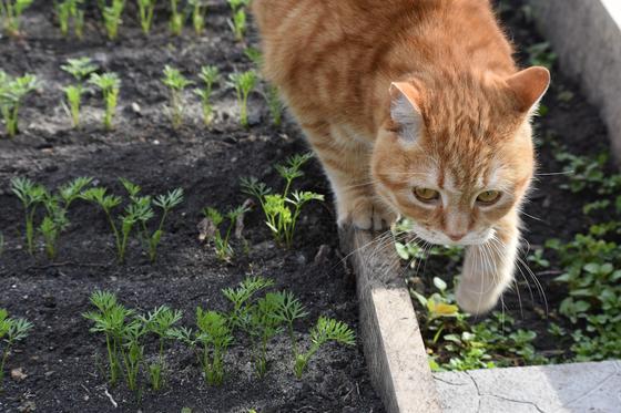 Кот идет по грядке