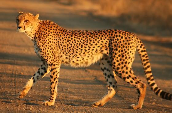 гепард стоит