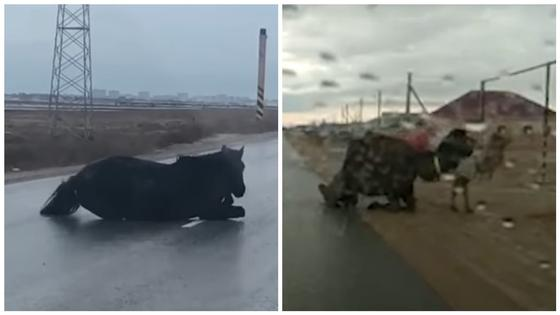 Верблюды и лошади падали на обледенелой дороге в Актау (видео)