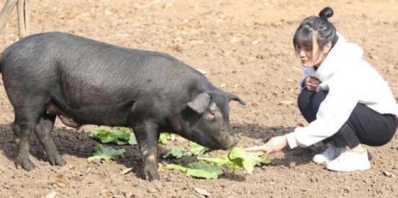 Отцу надоело ждать, и он пообещал 300 свиней любому, кто возьмет замуж его дочь