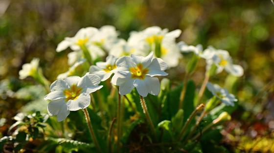 На клумбе кустики примулы с белыми цветками