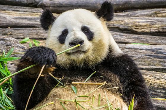 Панда держит лапой бамбук