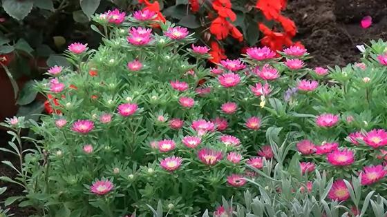 Розовые астры на зеленых кустиках