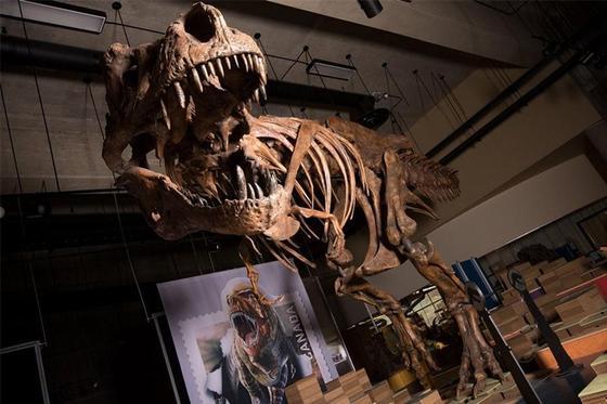 Ученые сообщили об открытии самого крупного тираннозавра рекса